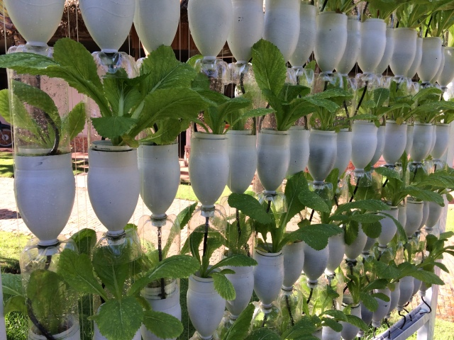 The programme offers many different faces of urban gardens: either its on a wall, or a rooftop, or a hydroponic garden like this with recycled plastic bottles.